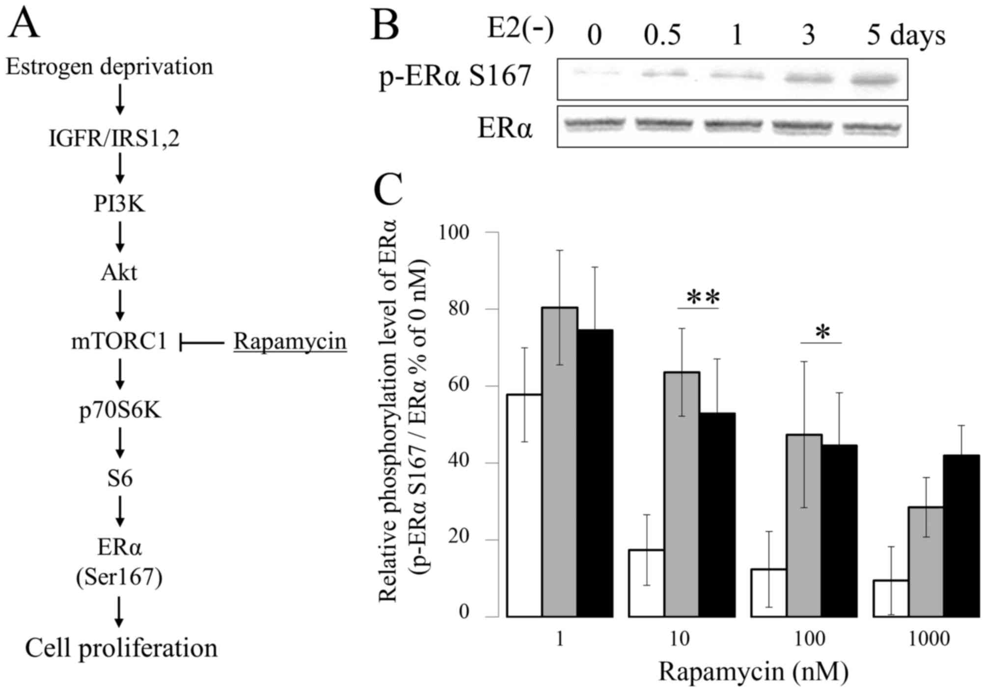 Estradiol Suppresses Phosphorylation Of Er Serine 167