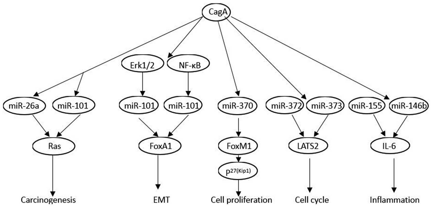 Pathogenic Mechanisms Of The Oncoprotein Caga In H Pylori
