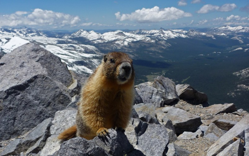 Charlie the yellow bellied  marmot on Mount Dana.