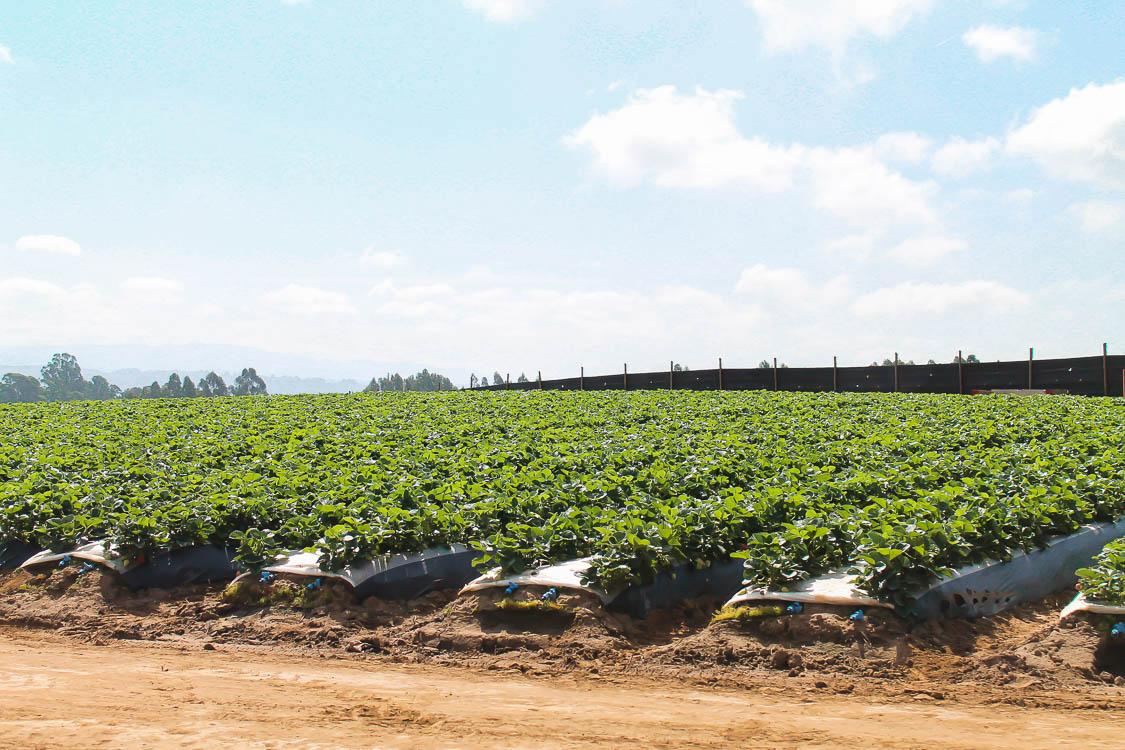 CA Strawberries Farm Tour