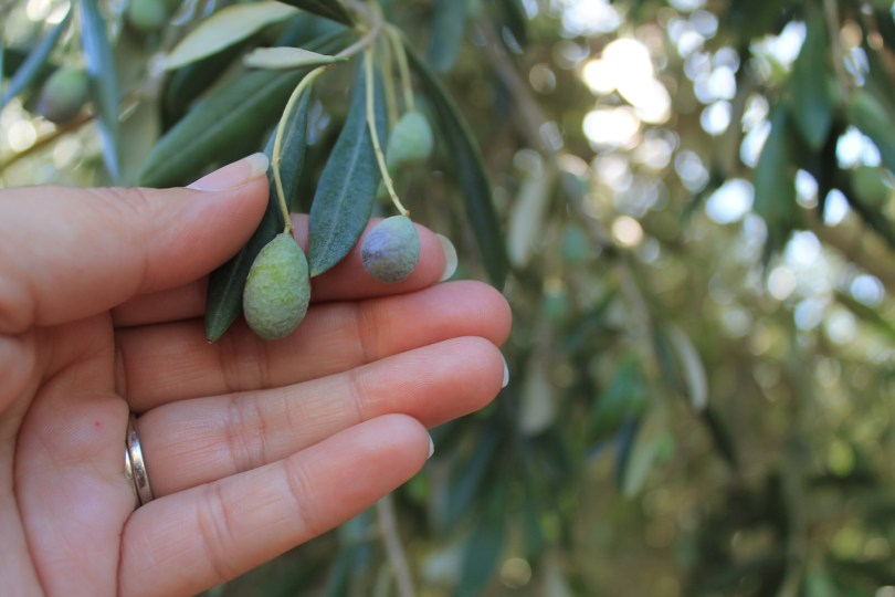 A woman's hand holding two olives on a treed branch.
