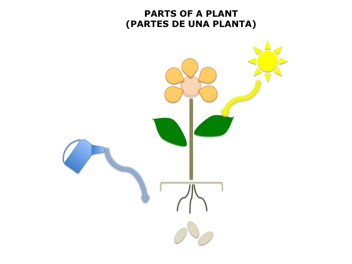 Plant Diagram No Labels Spanish4kiddos Educational Resources