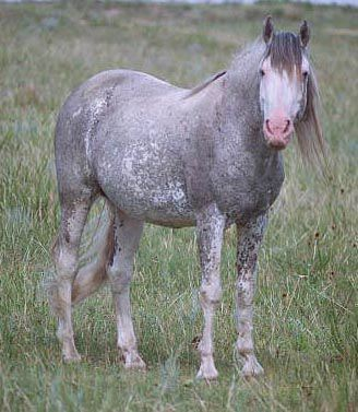 Image result for spanish mustang