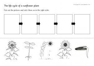 Sunflower Printables For Primary School Sparklebox
