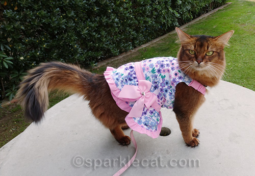 somali cat showing off bow on her new dress