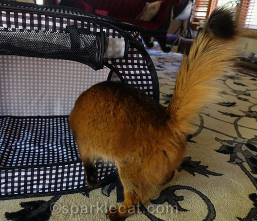 somali cat checking out new cat show enclosure