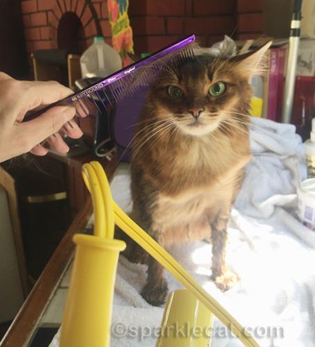 somali cat getting blow dried