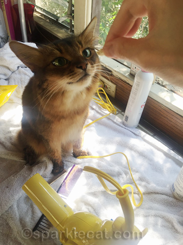 somali cat excited about post-bath treat