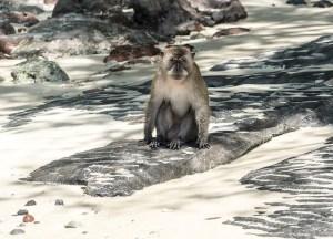 Monkey Phi Phi Island Thailand