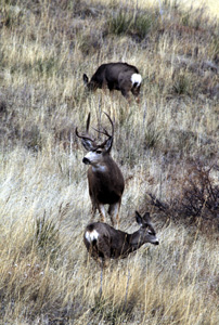 mule_deer-238.jpg