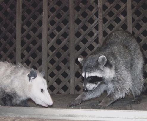 dainty-raccoon