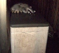 raccoon-snoozing