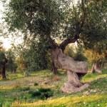 ulivo-carpino
