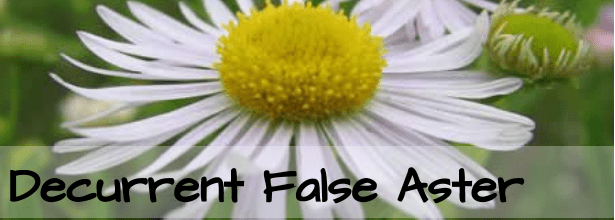 decurrent false aster