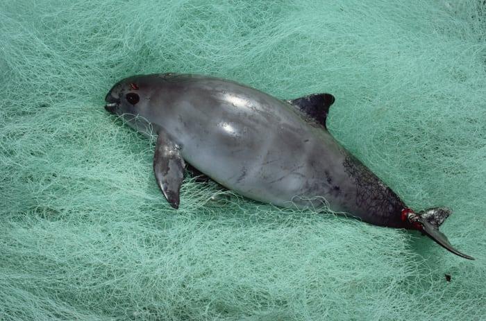 Vaquita – er stirbt leider gerade aus