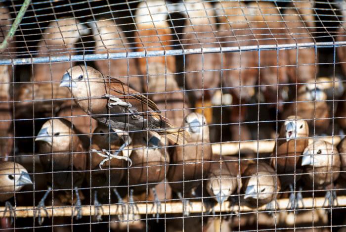 Die Vogelmärkte Indonsiens sind legendär und bei vielen Touristen wegen ihres exotischen Flairs beliebt. Was die wenigsten wissen: Beim größten Teil der Tiere handelt es sich um Wildvögel, wie bei diesen Staren.