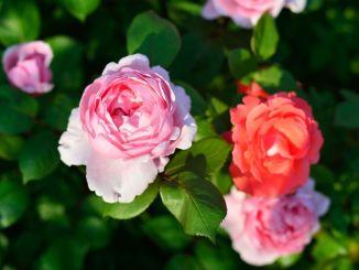 I Giorni delle rose a Spello, ibridatori più antichi d'Europa