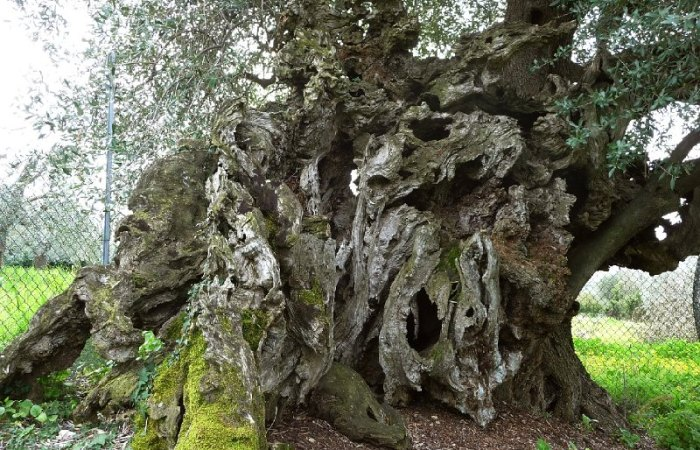 Gli oliveti di Tivoli
