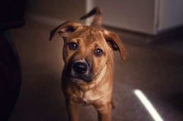 puppy facing camera with head tilted