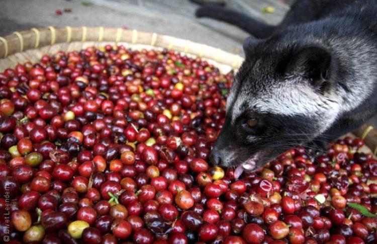 Indonesia facts: kopi luwak