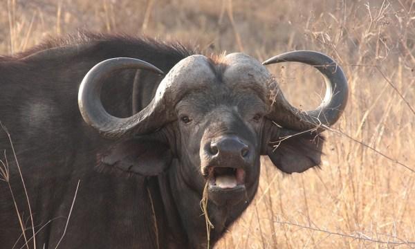 safari_africa_big_5_buffalo
