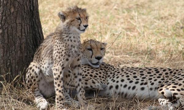 safari_africa_big_5_cheetah