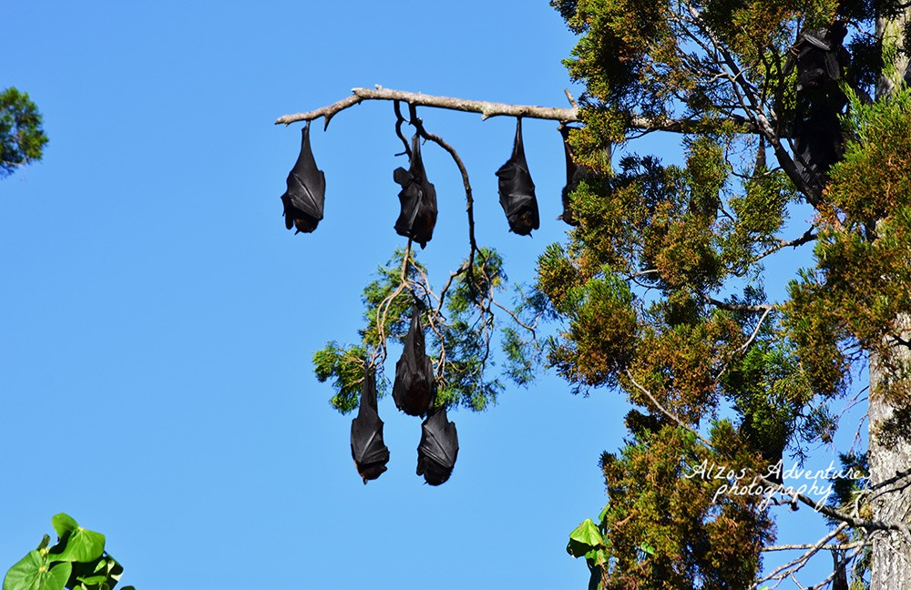 Free things to do in Hervey Bay: watch the fruit bats
