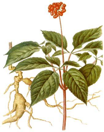 Semillas de Ginseng (Panax Ginseng)