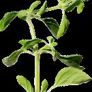 oregano-spiceitup