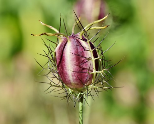 Blüte Schwarzkümmel