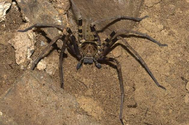 A giant huntsman spider is the biggest spider by leg span