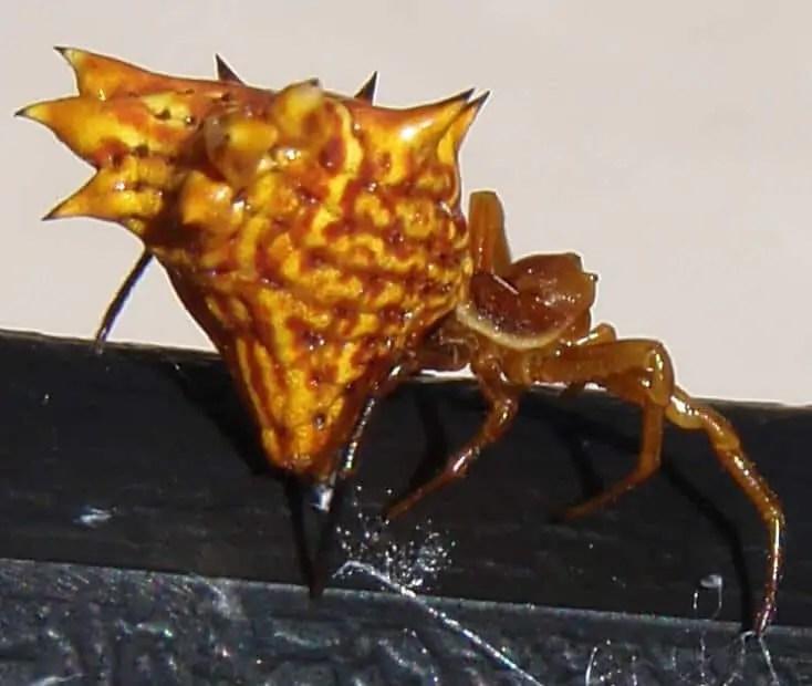 Spined Micrathena orange brown