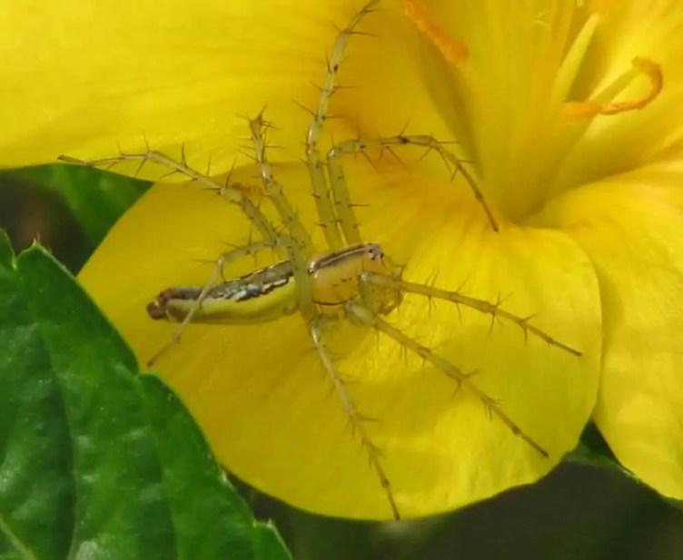 Green Lynx Spider in flower