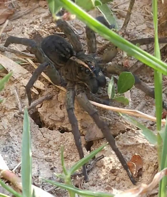 Unidentified Wolf Spider
