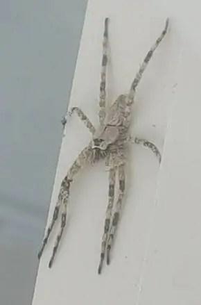 White Banded Fishing Spider dolomedes albineus