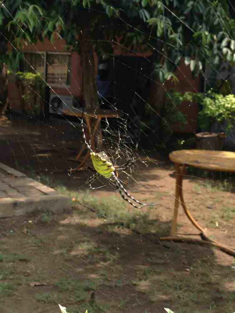 Other Argiope