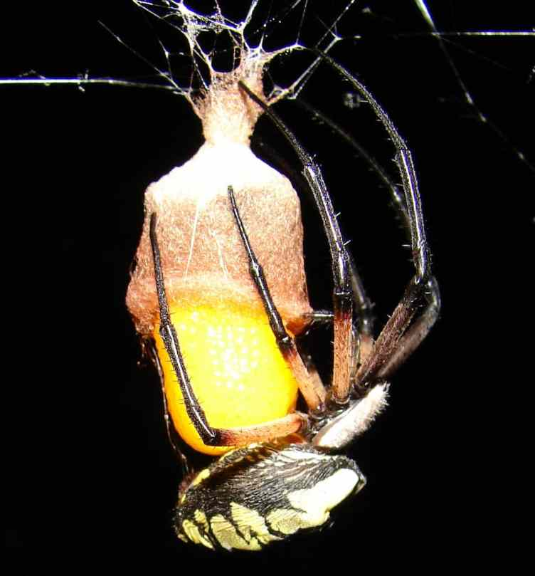 Black and Yellow Argiope laying eggs