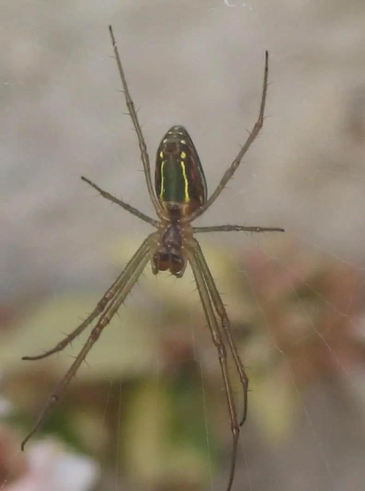 Festive Silver Marsh Spider 5