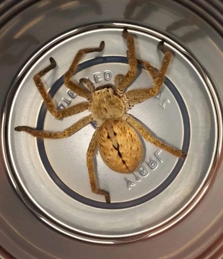 Badge Huntsman spider size