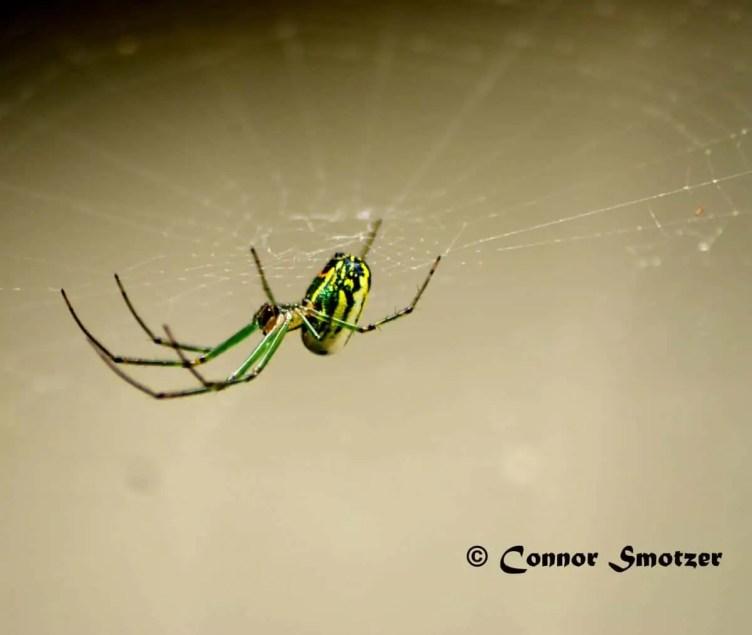 Venusta Orchard Spidechard Spider 20