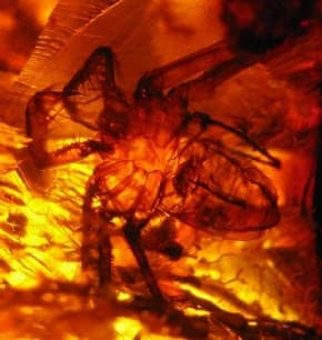 Chiapas Amber with spider