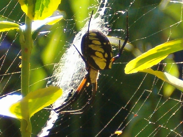 Argiope Web with stablimentum