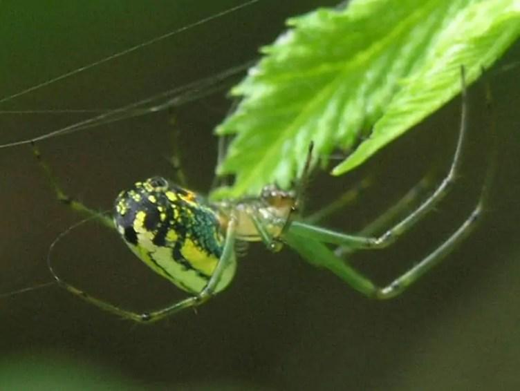 Venusta Orchard Spider