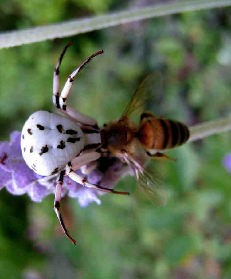 White Crab Spider vs bee