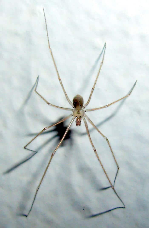 6 eyed cellar spider Pholcidae Spermopho