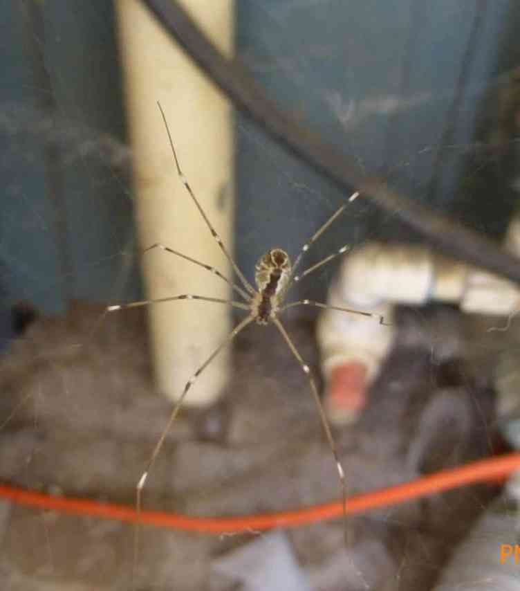 6 eyed cellar spider Pholcidae