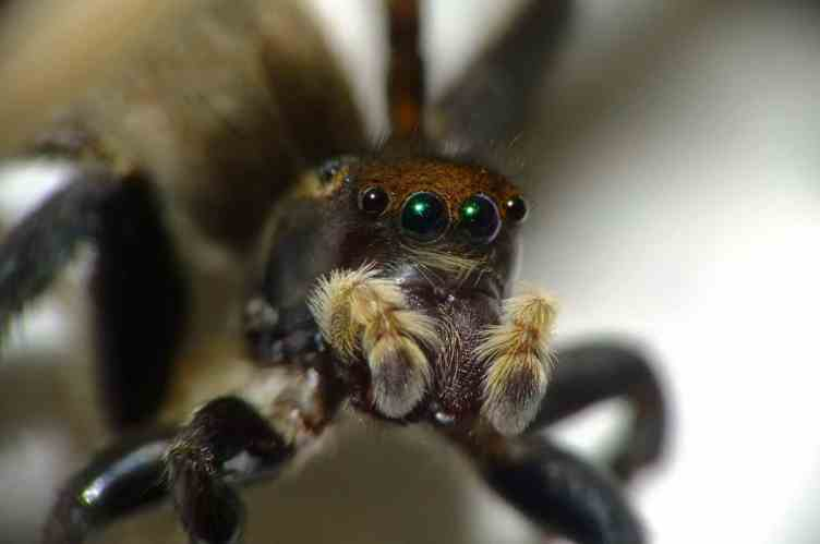 More jumping spider eyes