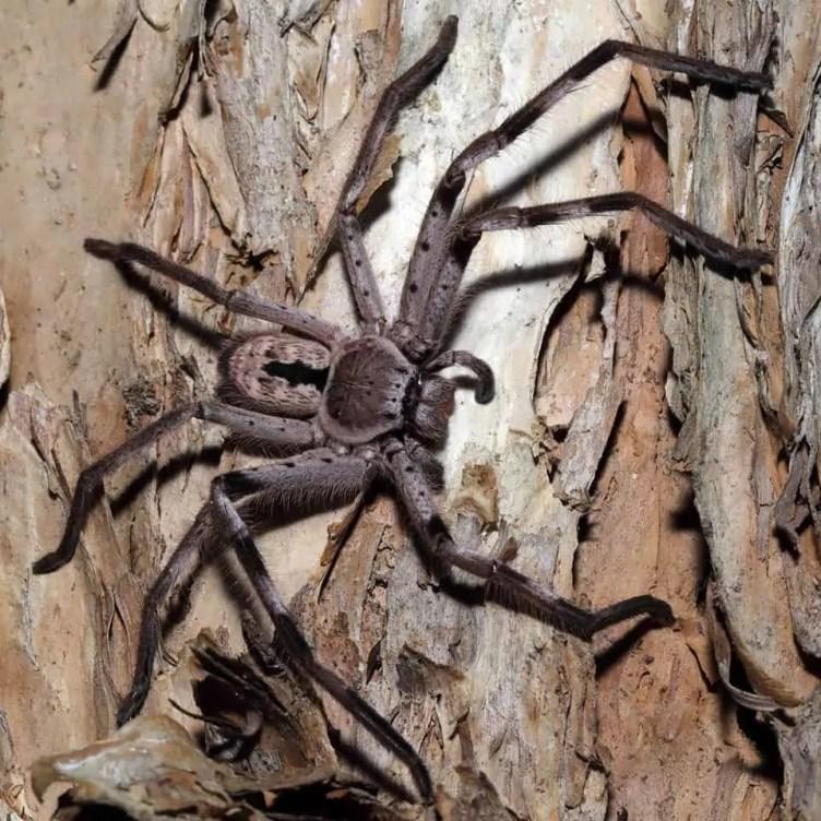 Large Huntsman spider at North Avoca NSW