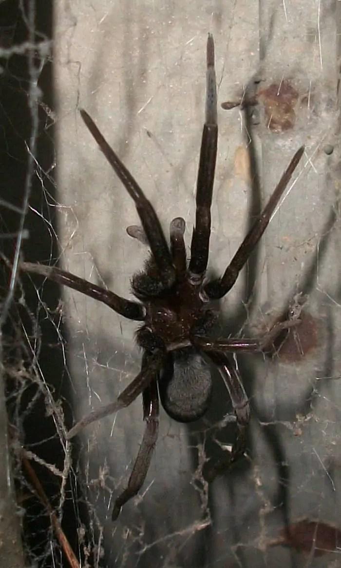 Southern House Spider Kukulcania hibernalis