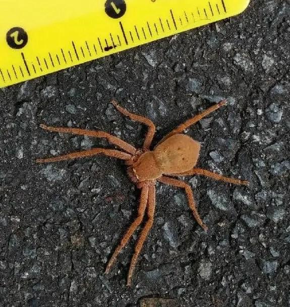 Huntsman Spider size measure tape